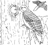 coloring,book,woodpecker,line art,animal,bird,colouring book,contour,media,clip art,externalsource,public domain,image,png,svg