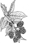 blackberry,nature,plant,food,fruit,berry,biology,botany,line art,media,clip art,externalsource,public domain,image,png,svg,wikimedia common,psf,wikimedia common,wikimedia common,wikimedia common