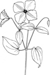 clematis,plant,flower,vine,colouring book,media,clip art,externalsource,public domain,image,png,svg