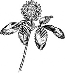 outline,clover,nature,plant,flower,leaf,luck,biology,botany,line art,season,spring,summer,black and white,contour,media,clip art,externalsource,public domain,image,png,svg,wikimedia common,psf,wikimedia common,wikimedia common,wikimedia common