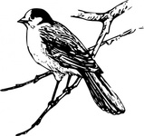 canada,animal,bird,canada jay,biology,zoology,ornitology,line art,outline,media,clip art,externalsource,public domain,image,svg,wikimedia common,psf,wikimedia common,wikimedia common,wikimedia common