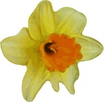 flower,plant,nature,yellow,daffodil,narcissus,season,spring,media,clip art,public domain,image,png,svg