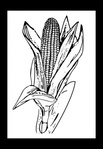 corn,nature,food,crop,popcorn,plant,black,white,colouring book,media,clip art,public domain,image,png,svg
