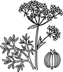 anise,nature,plant,flower,aniseed,spice,biology,botany,line art,media,clip art,externalsource,public domain,image,png,svg,wikimedia common,psf,wikimedia common,wikimedia common,wikimedia common