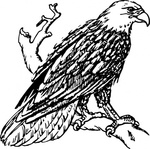 bald,eagle,animal,bird,biology,zoology,ornitology,line art,black & white,contour,outline,externalsource,wikimedia common,psf,wikimedia common