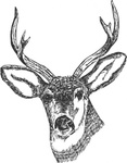 deer,head,media,clip art,public domain,image,svg,fws,fws lineart,line art
