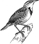 meadow,lark,black and white,animal,line art,bird,media,clip art,externalsource,public domain,image,svg,wikimedia common,wikimedia common,wikimedia common,wikimedia common