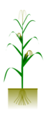 maize,plant,botany,biology,crop,cob,grain,agriculture,maize,svg,png,clipart